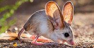 información del jerbo de grandes orejas