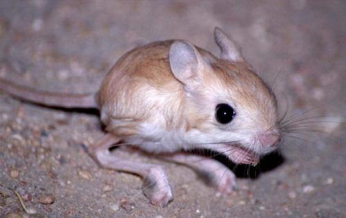 jerbo mascota