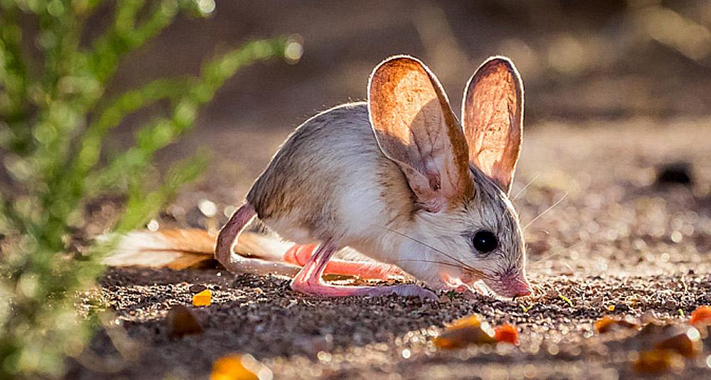 jerbo con orejas grandes