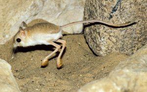 raton del desierto saltando