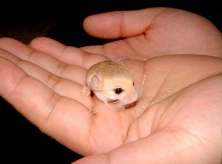 jerbo pequeño