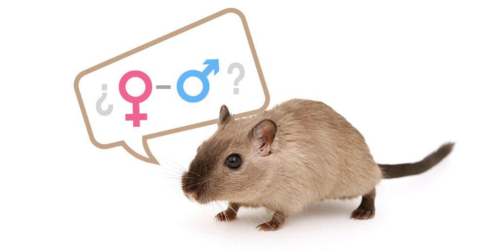 averiguar si un jerbo es macho o hembra
