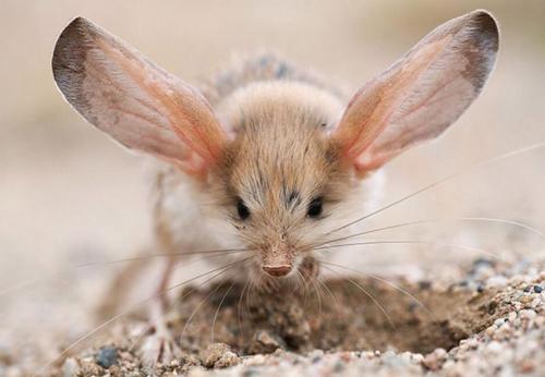 jerbo de grandes orejas